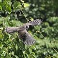 チョウゲンボウ幼鳥(5)