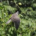 チョウゲンボウ幼鳥(3)