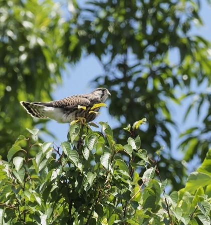 野鳥(1286)−チョウゲンボウ、雛巣立ち