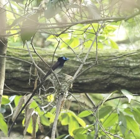 野鳥(1287)−サンコウチョウ、営巣中(2)