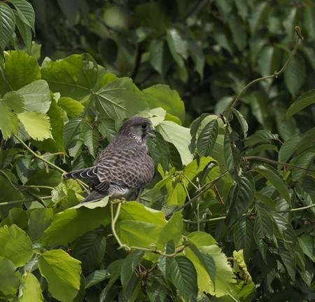 野鳥(1289)ーチョウゲンボウ、巣を離れて