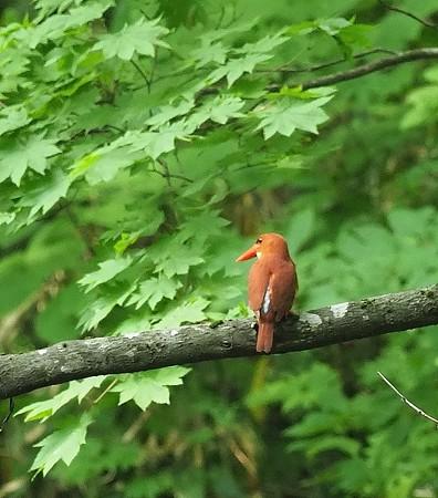 野鳥(1291)−アカショウビン、火の鳥(2)