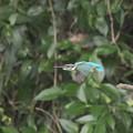 カワセミ 飛翔(4)