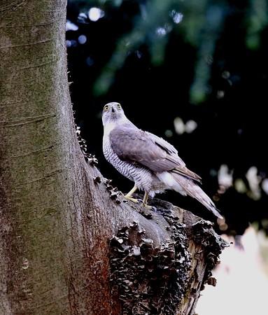 野鳥(1292)−オオタカ、 洞の水飲みに