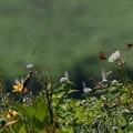 舞い飛ぶ蝶とホオアカ(5)