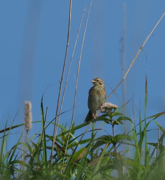 ホオアカ幼鳥(4)