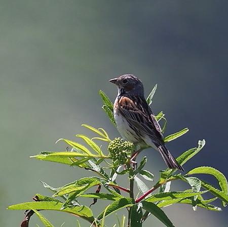 野鳥(1294)ーホオアカ、活発に