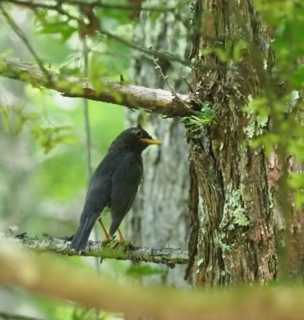 野鳥(1295)ークロツグミ、鳴き声はすれど・・・