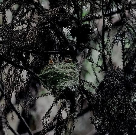 野鳥(1296)ーサンコウチョウ、子育てで忙しく