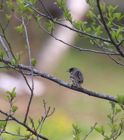 野鳥(1299)−高原の野鳥達、緑に映えて