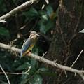 写真: カワセミ若鳥  一休み