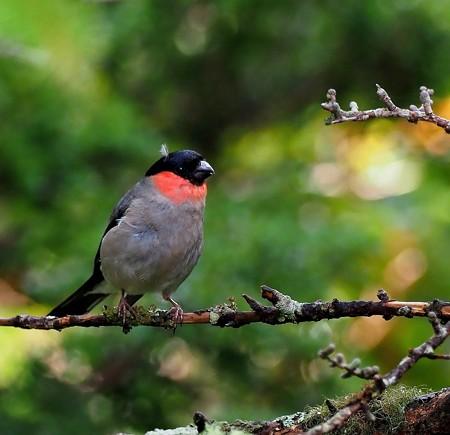 野鳥(1306)−ウソ、 若鳥連れて