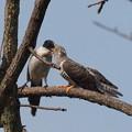 オナガ&カッコウ幼鳥(6)