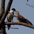 オナガ&カッコウ幼鳥(5)