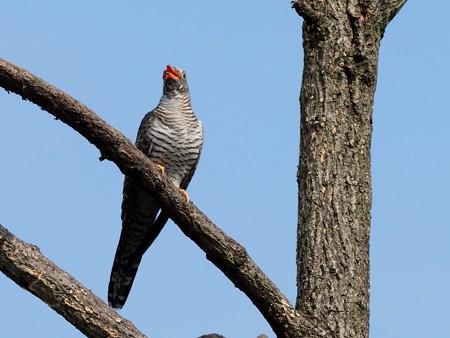 野鳥(1309)ーカッコウ幼鳥,  仮親オナガの給餌