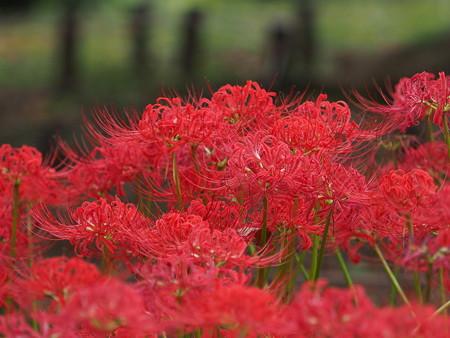 花(62)−彼岸花とキバナコスモス、季節の花