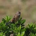 ホオジロ 若鳥