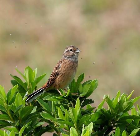 野鳥(1314)ーホオジロ、今年の若鳥