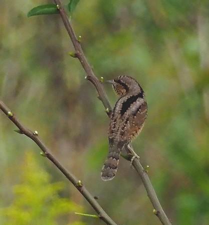 野鳥(1317)−アリスイ&モズ、今季の初撮り