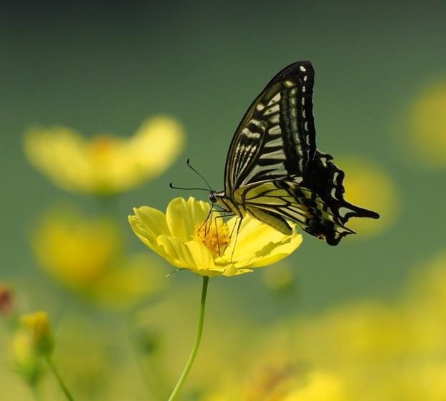 キゲハチョウとキバナコスモス