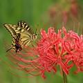 写真: キアゲハと彼岸花