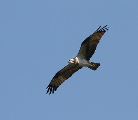 野鳥(1320)−ミサゴ、 狙う鮎居ない