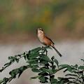 百舌鳥♀(4)