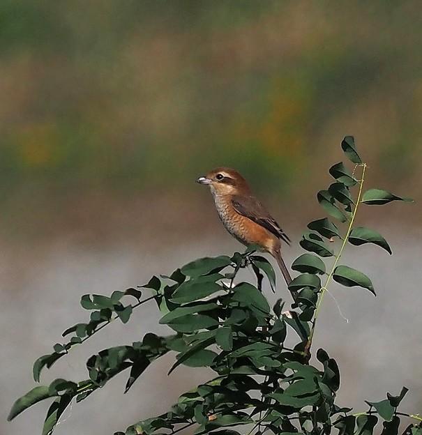 百舌鳥♀(2)