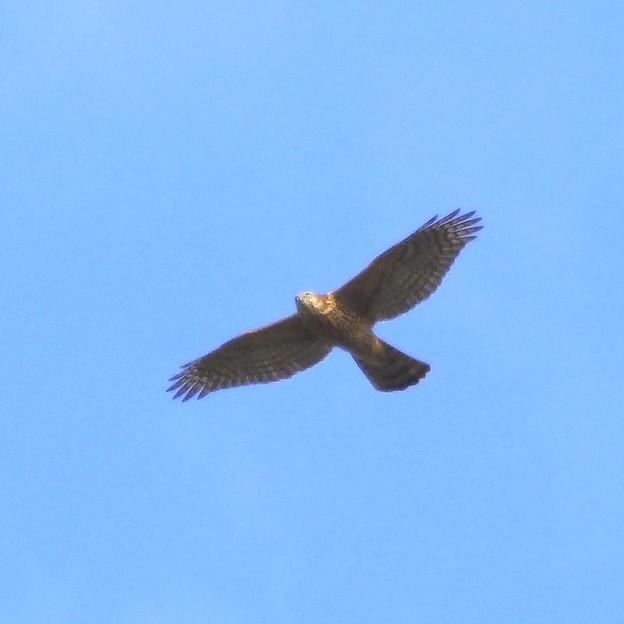 オオタカ 若鳥(4)