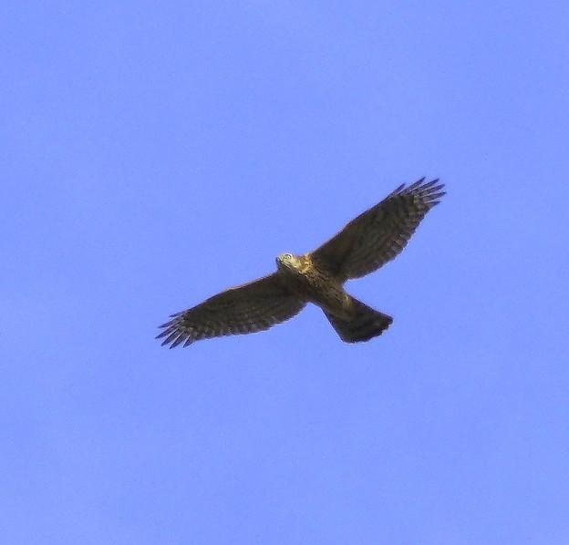オオタカ 若鳥(3)