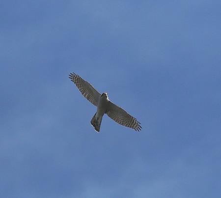 野鳥(1323)ーオオタカ、成鳥と幼鳥