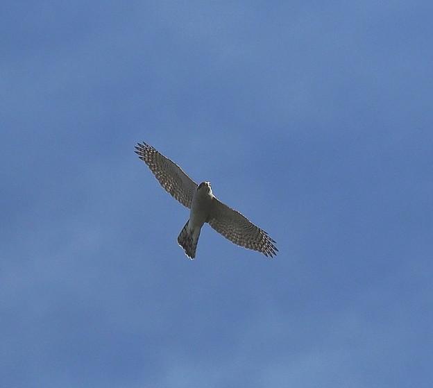 オオタカ 成鳥(1)