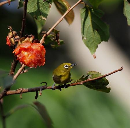 野鳥(1327)−メジロ、柿の木レストラン