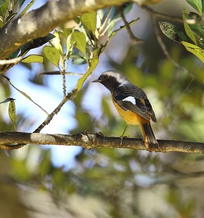 野鳥(1329)−ジョウビタキ、何とか出会えました
