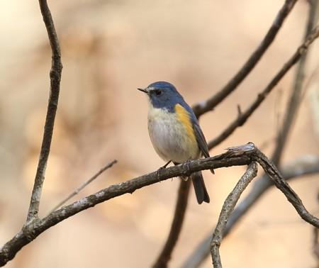 野鳥(1333)−ルリビタキ♂、幸せの青い鳥