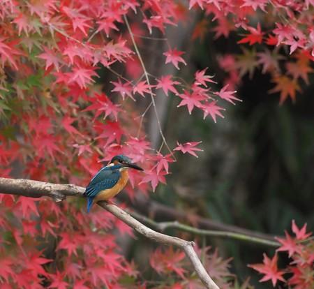 カワセミ(225)-紅葉背景の「モミカワ」