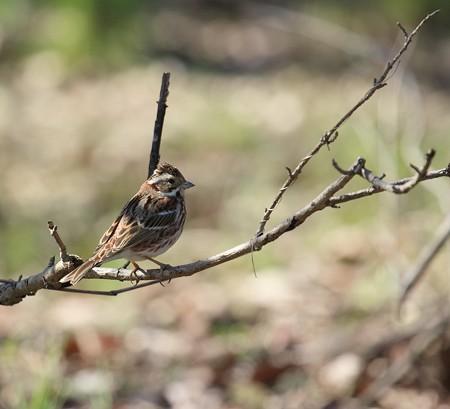 野鳥(1339)−カシラダカ、絶滅危惧種�U種に