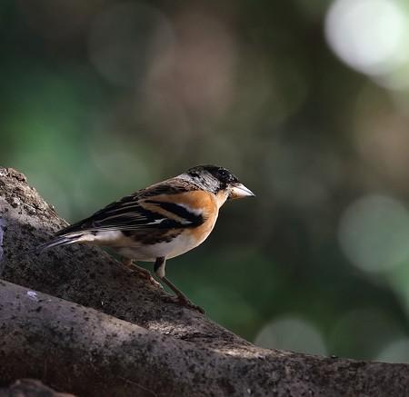 野鳥(1340)−アトリ、今季も多い?