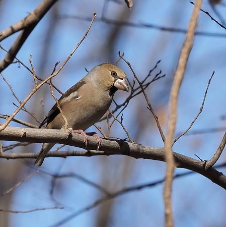 野鳥(1344)−シメ、鋭い目つきで
