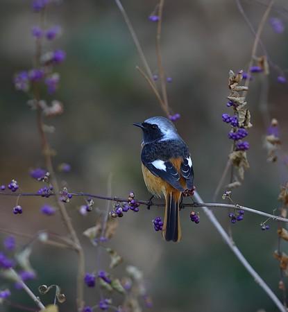 野鳥(1348)ージョウビタキ、コムラサキシキブに止まって
