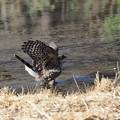オオタカ 若鳥5