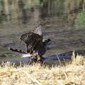 オオタカ 若鳥4