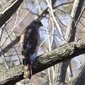 オオタカ 若鳥2