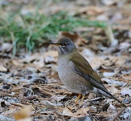野鳥(1351)ーシロハラ、 冬鳥の定番