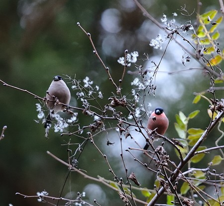 野鳥(1354)-ウソ、今季初撮り