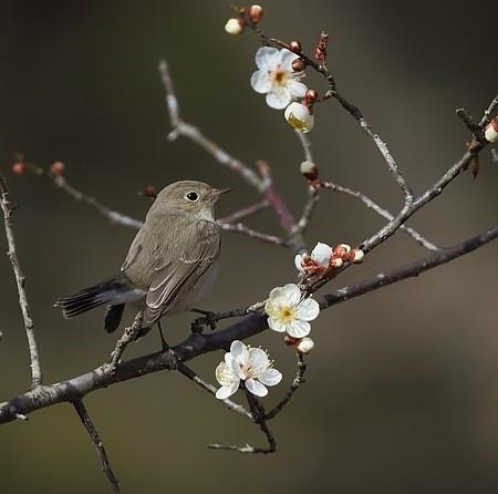 野鳥(1356)-ニシオジロビタキ、梅花絡み
