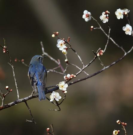 野鳥(1357)ールリビタキ、梅花絡み