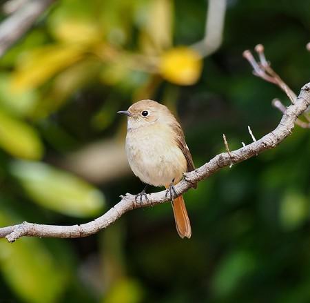 野鳥(1371)−ジョウビタキ♀、大接近