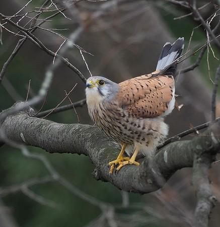 野鳥(1372)−チョウゲンボウ、極く短い出会い