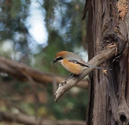 野鳥(1377)-モズ,ルリビタキの縄張りに